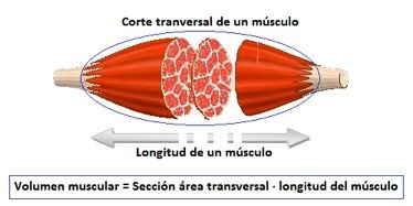 fuerza musculo
