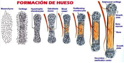 osteoporosis hueso